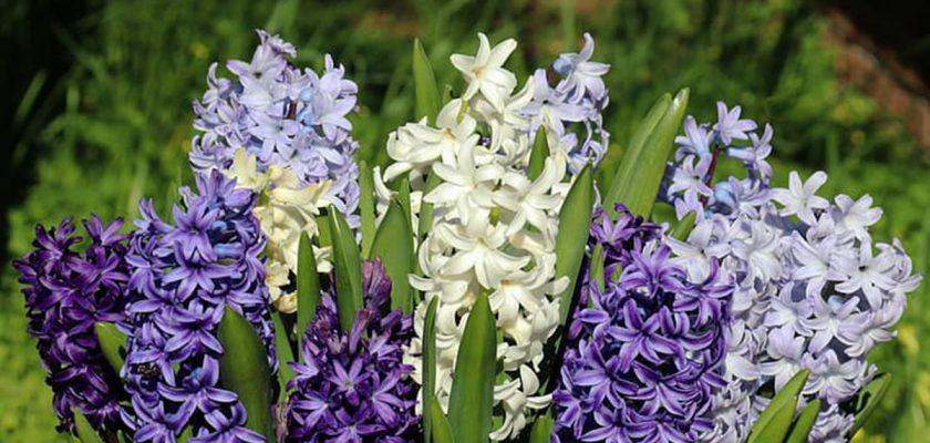 Sümbül Çiçeği Bakımının Püf Noktaları